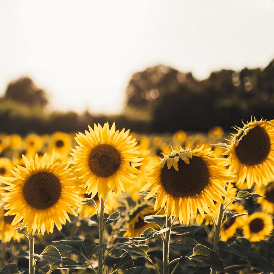 Sonnenblumenhack ist regional