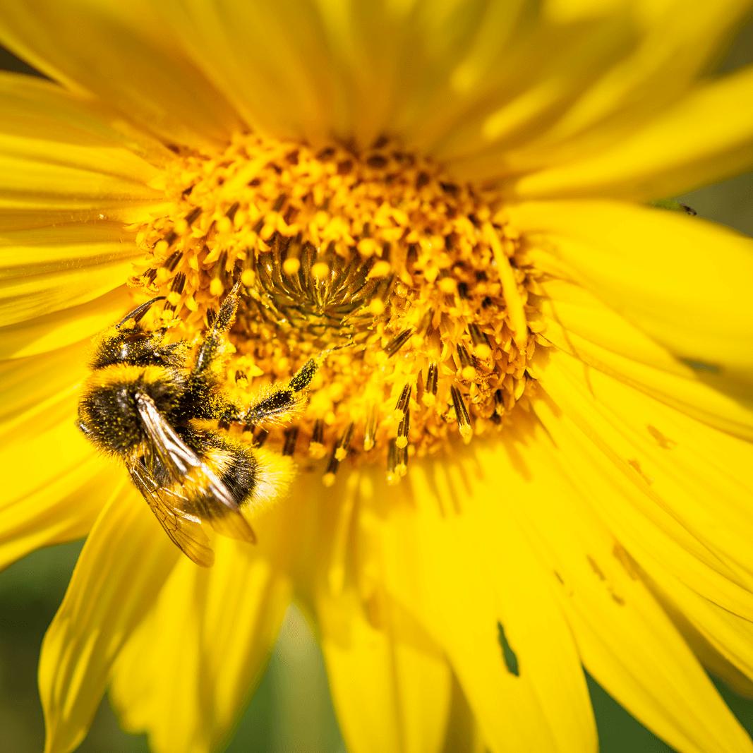 Sonnenblumen Hack schützt Bienen.